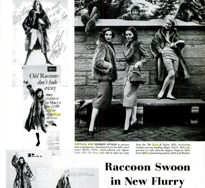 1950s editorial lauding the return of the classic raccoon coat in fashion.